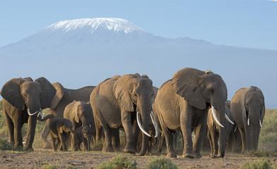 Kenya Africa,Elephants in  Amboseli reserve.