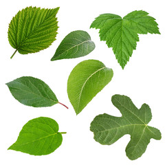 Set of green leaves isolated over white