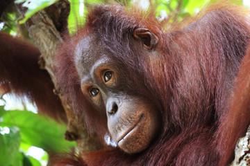Thinking orangutan in Borneo forest head closeup.