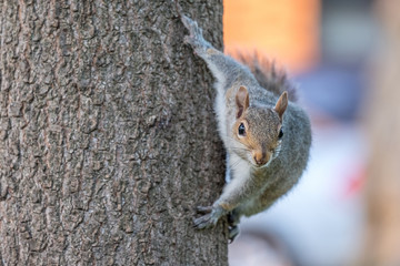 Foto op Aluminium Eekhoorn Gray squirrel on a tree