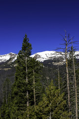 Conifers killed by western bark beetle in Rocky Mountain National Park
