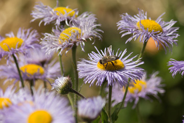 sedulous bee on flowers in cottage garden