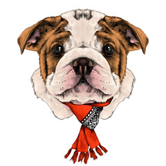 dog breed American bulldog head with white and red color with a Christmas scarf on the neck, sketch vector graphics color picture
