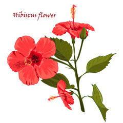 Hibiscus flower in realistic hand-drawn style isolated on white background.