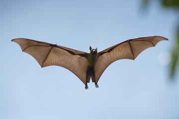 Bats flying on blue sky, Flying Lyle's flying fox (Pteropus lylei)
