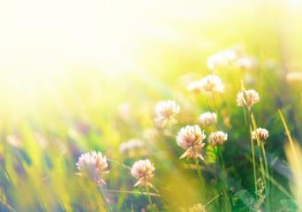 Natural summer background with wild flowers of clover in the meadow in the morning sun rays close-up macro with soft blurred focus and vintage color gamma.