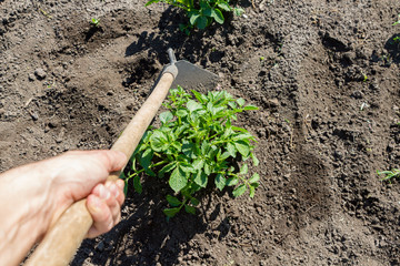 Young potato plant growing on the soil.Potato bush in the garden.Healthy young potato plant in organic garden.