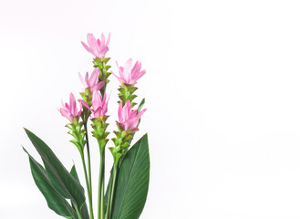 Curcuma zanthorrhiza flower on white background.