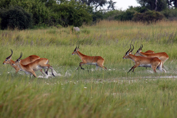 The lechwe (Kobus leche), or southern lechwe, herd running through the swamp
