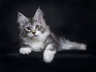 Black tabby silver Maine Coon kitten laying side ways isolated on black background