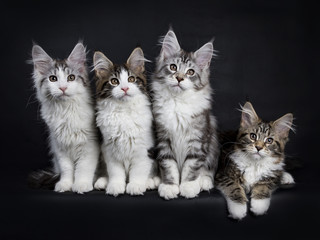Row of four Maine Coon kittens isolated on black background