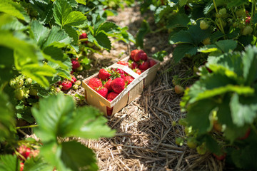 basket full of ripe strawberries at field of a self-picking farm