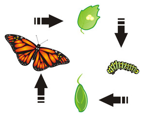 Butterfly, monarch, wings, flying, insect, nature, cartoon, black, orange, white, Arrows, cycle, stages, birth, eggs, caterpillar, cocoon,