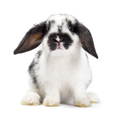 Black and white baby bunny sitting isolated on white background