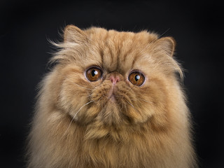 Head shot of red Persian cat sitting isolated on black background and looking straight in camera