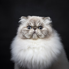 Head shot of tabby point Persian cat sitting isolated on black background
