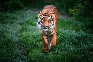 Wall Mural - Tiger with dangerous look walking in grass