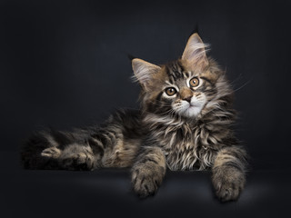 Black tabby Maine Coon kitten (Orchidvalley) laying isolated on black background looking at camera