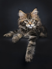 Black tabby Maine Coon kitten (Orchidvalley)  laying isolated on black background with paws hanging over edge