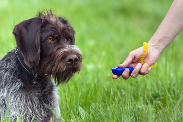 hand of woman training young dog with clicker
