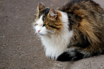 Fluffy cat on the road