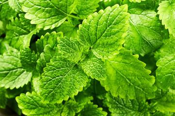 Mint leaves . Melissa