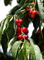 cerises à cueillir sur le cerisier dans le Lubéron, vaucluse