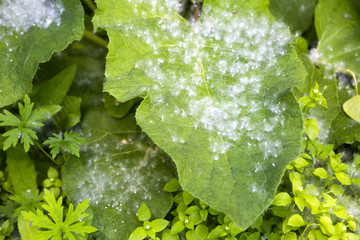 poplar fluff from cottonwood in the city on the plants