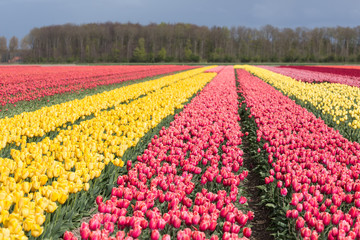 Dutch farmland with colorful tulip fields