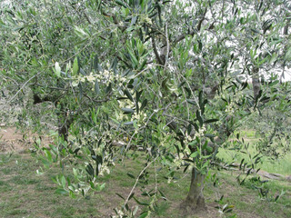 Olive tree branches with first buds . Tuscany, Italy