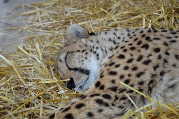schlafender Gepard sleeping cheetah