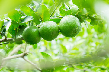 lime tree in the farm