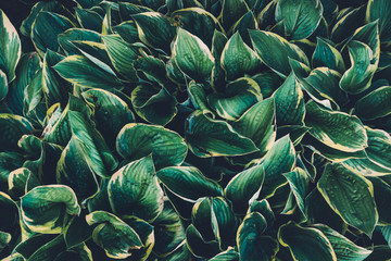 Green Hosta Leaves