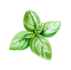 Basil leaves isolated on white watercolor illustration