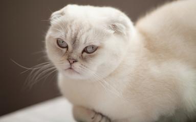 fluffy gray beautiful adult cat, scottish-fold, close up portrait