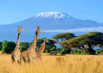 Printed kitchen splashbacks Giraffe Three giraffe in National park of Kenya
