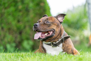 Vertical photo of staffordshire bull terrier on grass field with wide open mouth and tongue. Very soft focus on nose. Background green bokeh.