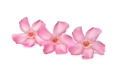 Pink oleander flower isolated