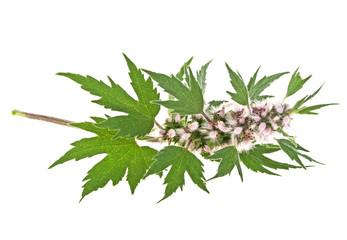 Blooming Leonurus cardiaca or motherwort on a white background