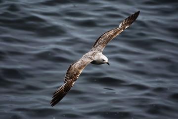 gull, pescarus,Möwe, gabbiano,