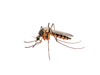 Zika or Malaria Virus Infected Mosquito Isolated on White