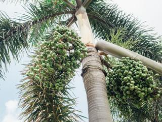 Areca catechu tree