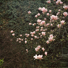 Magnolia tree against wall