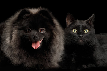 Furry Pomeranian Spitz Dog Together with Cat Curious Looking in Camera Isolated Black Background, front view