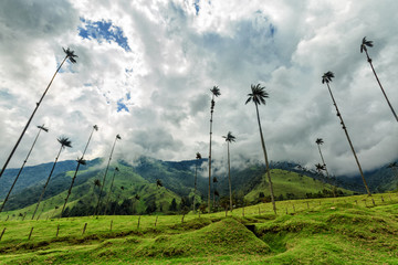 Wide angle view of wax palms and pasture land in the Cocora Valley near Salento, Colombia.