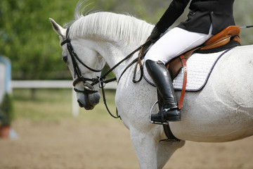 Beautiful grey show jumper stallion under saddle
