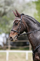 Vertical portrait closeup of a purebred show jumping horse