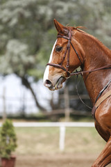 Vertical photo of a chestnut sport horse