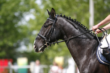 Closeup of show jumping horse during competition riding between obstacles