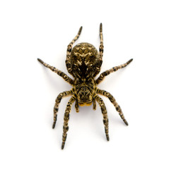 Photo of Lycosa singoriensis, black hair tarantula isolated on white background